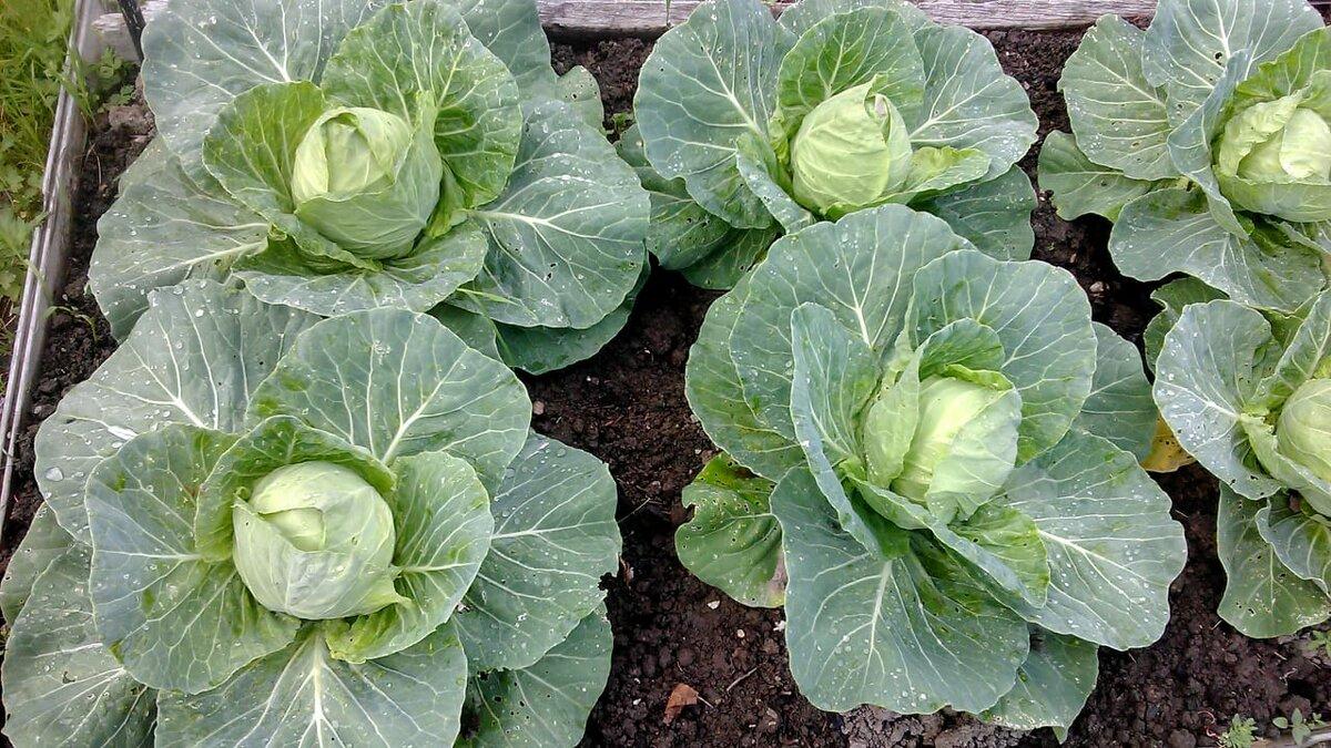Чем подкормить капусту в открытом грунте