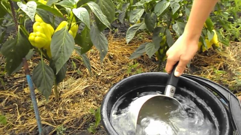 Подкормка перца во время цветения и плодоношения