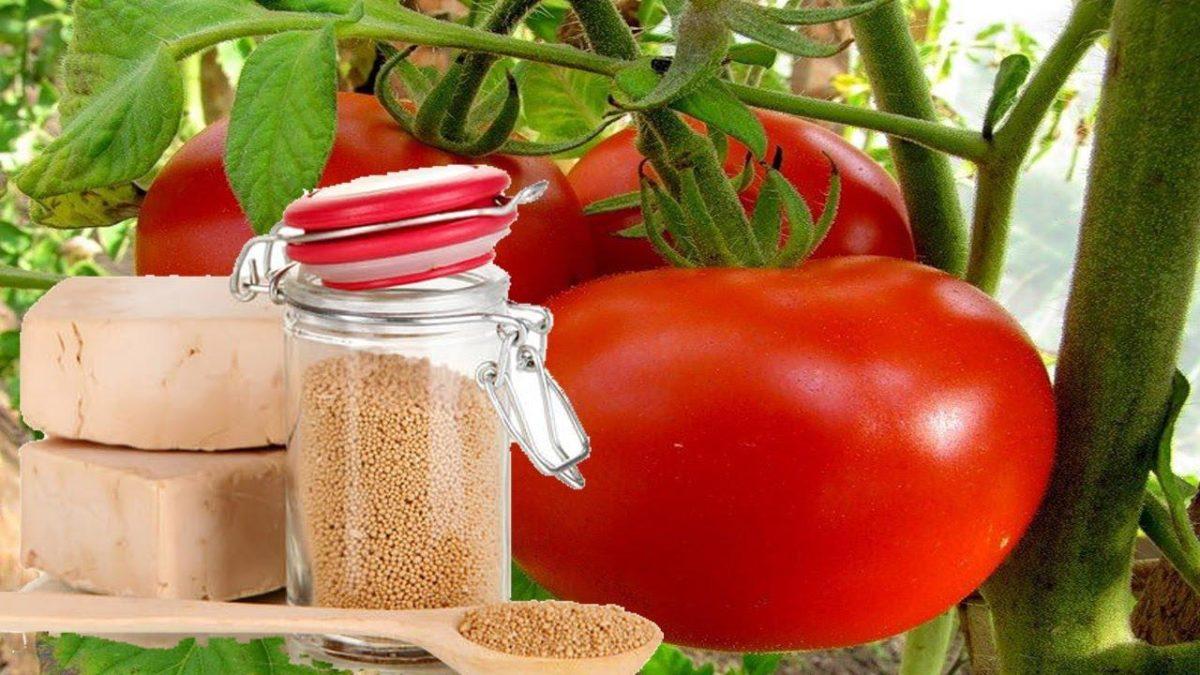 Чем лучше подкормить помидоры в открытом грунте
