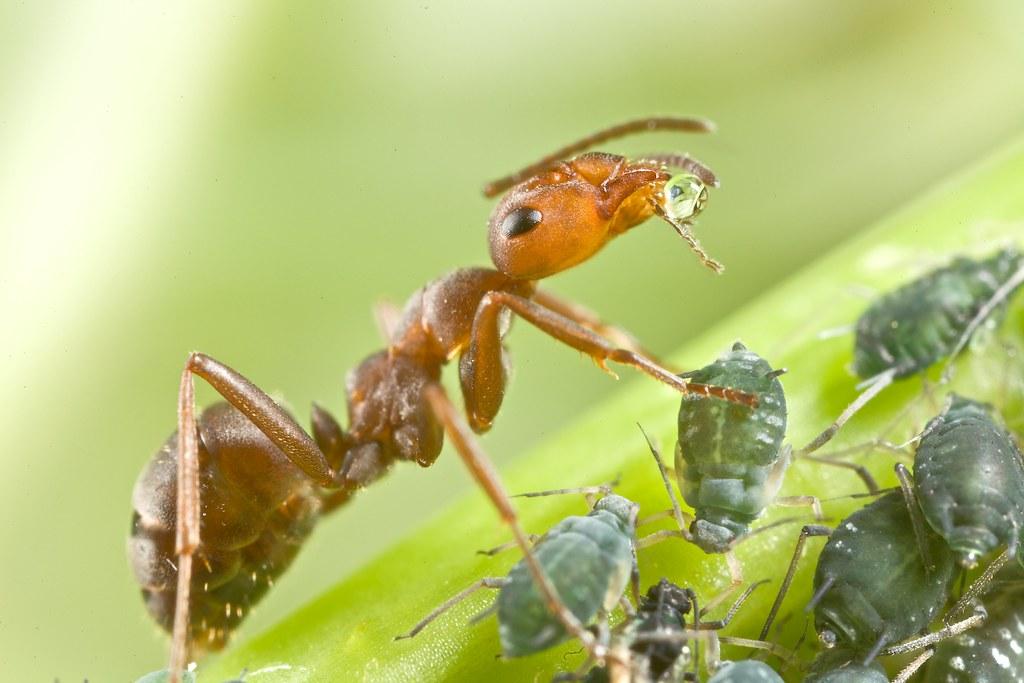 Перенос муравьями