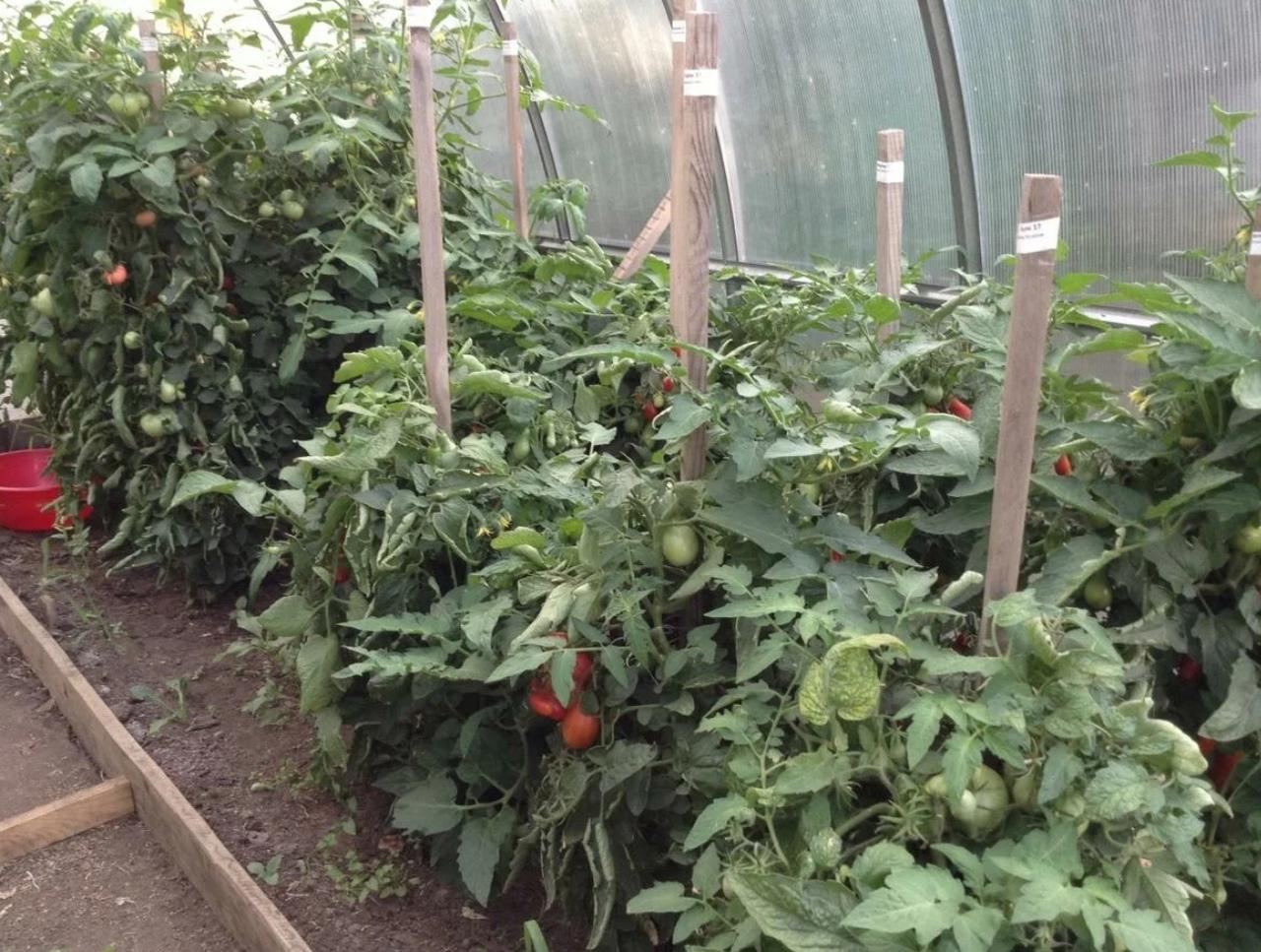 Как избавиться от тли на помидорах в теплице
