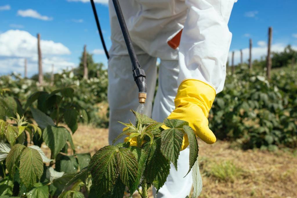 Опрыскивание малины во время цветения: от болезней и вредителей, для завязи плодов, чем обработать