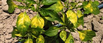 перец с желтыми листьями