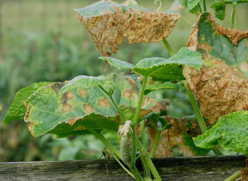 Как и чем лечить желтые пятна на листьях огурцов