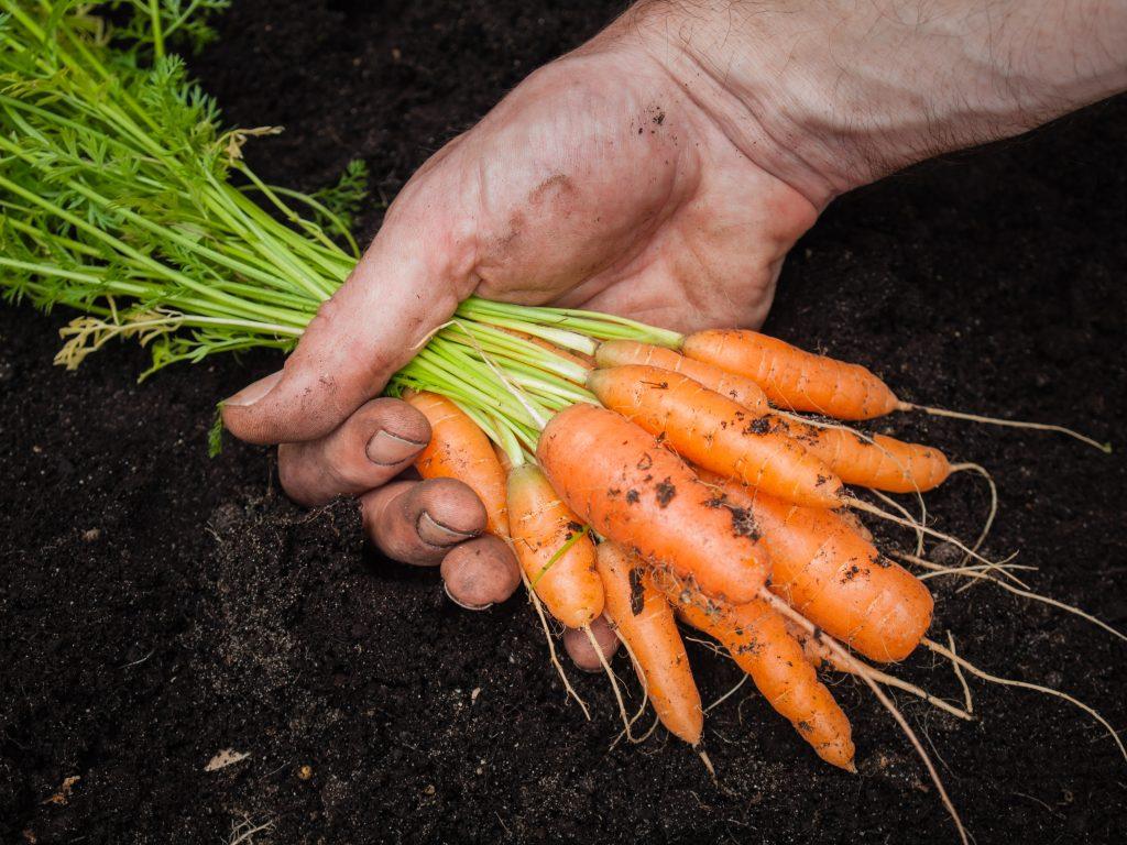 Когда убирать морковь с грядки на хранение в 2021 году по лунному календарю