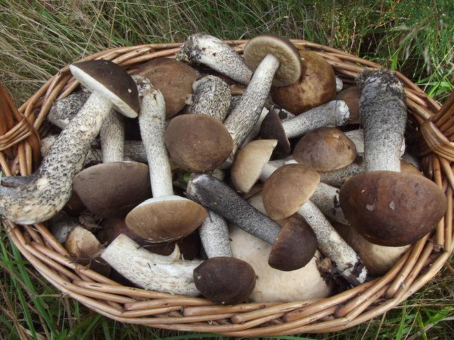Когда собирать грибы в Подмосковье осенью 2021 года