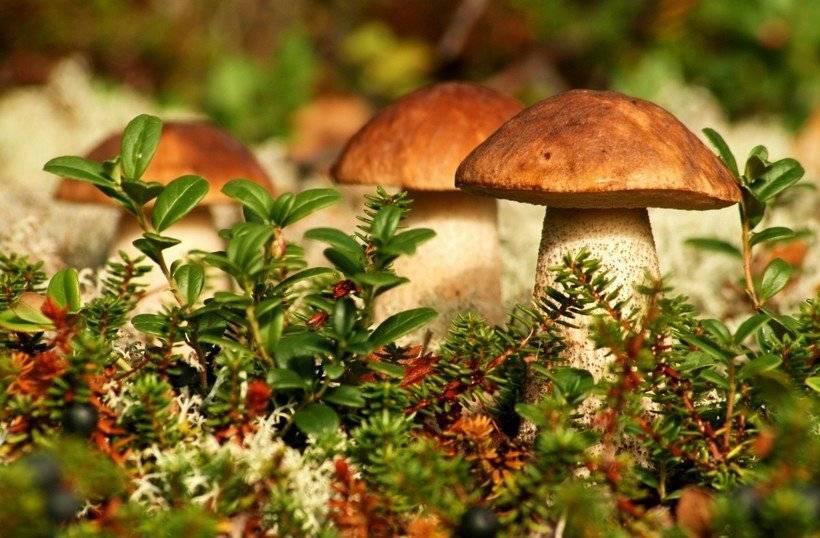 Когда пойдут грибы в Ленинградской области в 2021 году