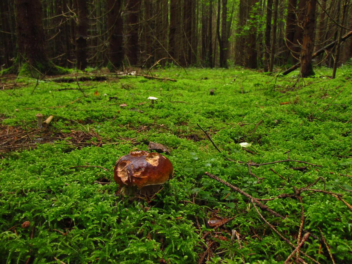 Когда пойдут грибы в Подмосковье в 2021 году