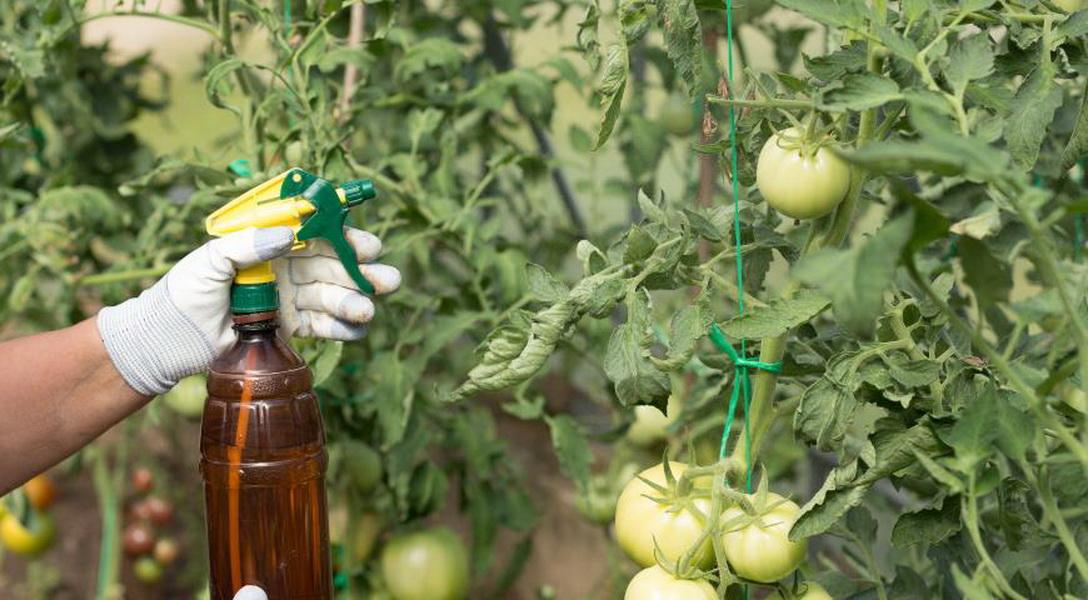 Причины появления коричневых пятен на листьях помидоров