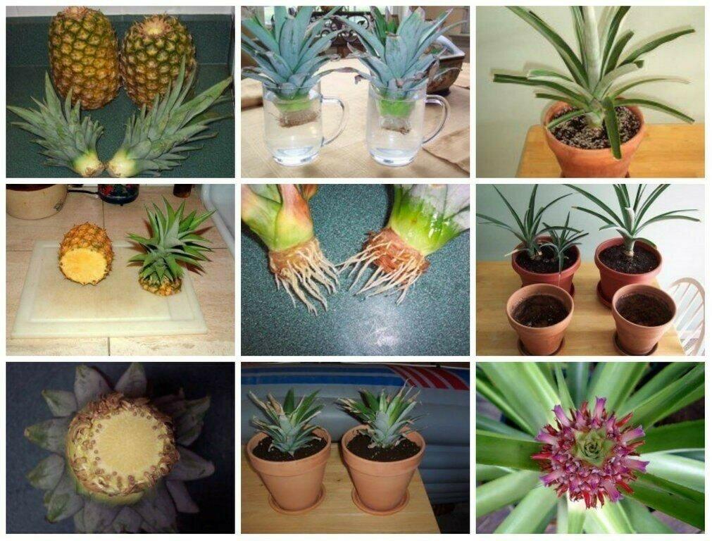 Домашний ананас: как посадить из верхушки в домашних условиях