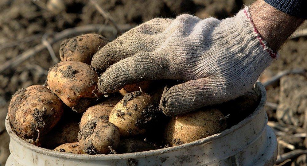 Когда копать картофель на хранение в августе 2021 года по лунному календарю
