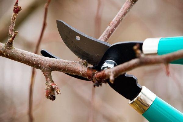 Как и когда обрезать абрикос осенью 2021 года