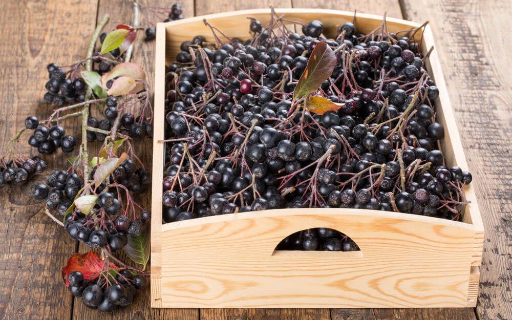 сбор чорноплодной рябины