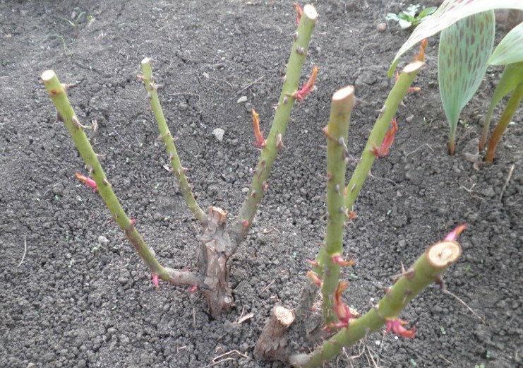 Плюсы и минусы осенней обрезки роз