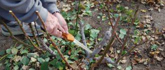 Когда и как обрезать розы осенью 2021 года