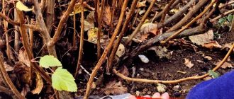 Обрезка смородины осенью, схемы для начинающих