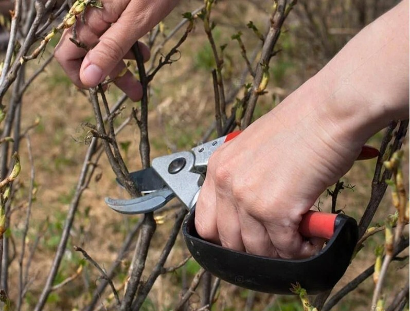 Как ухаживать за черной смородиной осенью 2021 года чтобы был хороший урожай