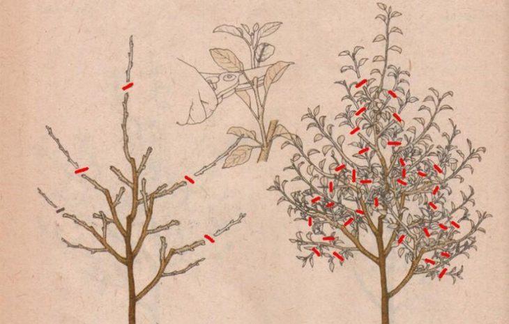 Формировка карликовых яблонь