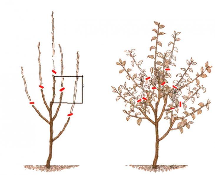 Обрезка яблони Веретено