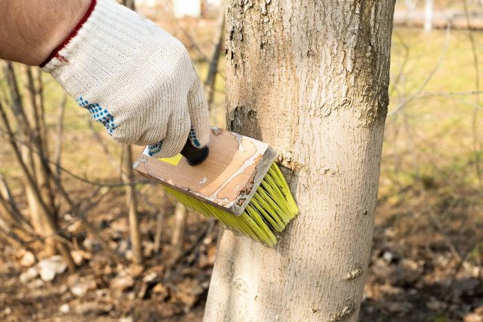 Побелка штамбов деревьев