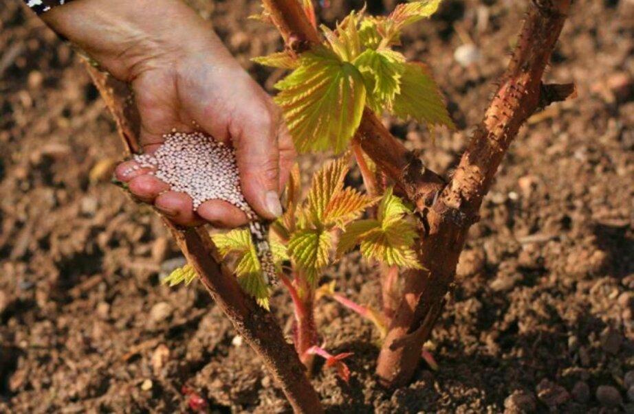 Подкормка малины в октябре