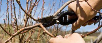 Как и когда обрезать персик осенью 2021 года чтобы был хороший урожай