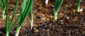 Какую зелень посадить осенью под зиму в 2021 году