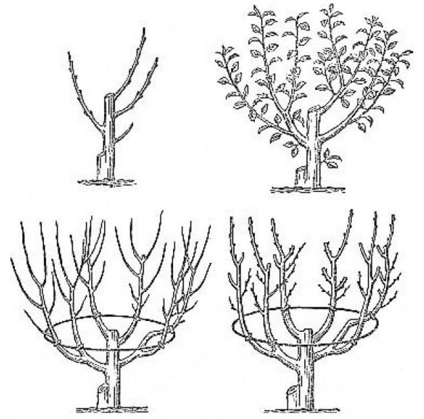 Схема обрезки персика осенью