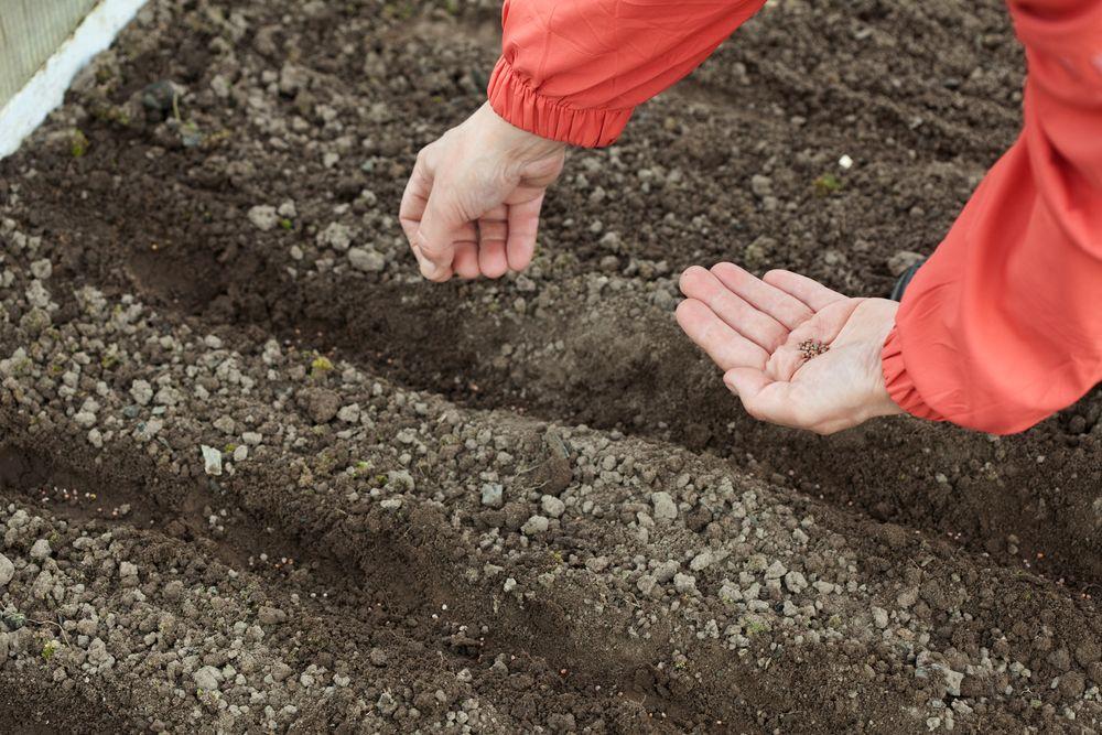 Когда сажать морковь под зиму в 2021 году по лунному календарю