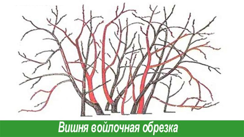 Обрезка вишни осенью для начинающих