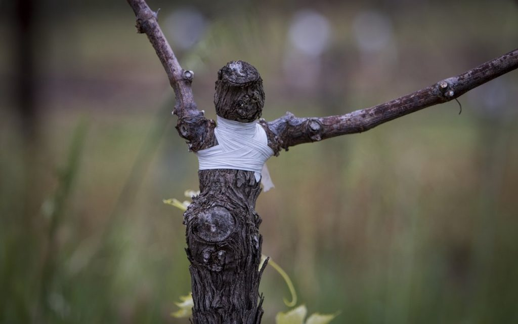 Особенности прививки винограда на старый куст осенью