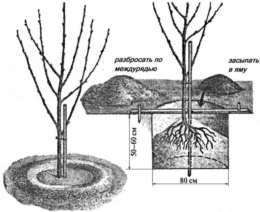 Схема посадка черешни весной