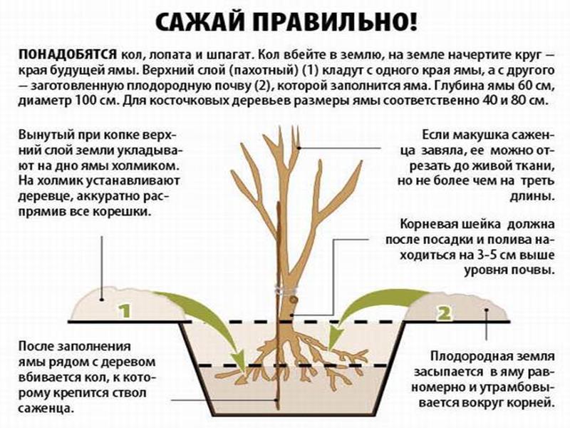 Схема посадка вишни