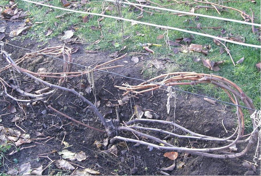 Что делать с виноградом весной после раскрытия